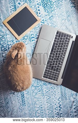 Work From Home Concept With Laptop And Rufus Rabbit Flat Lay Vintage Setting Portrait