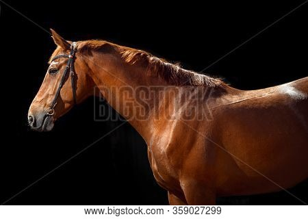 Portrait Of Bay Horse With Classic Bridle Isolated On Black Background