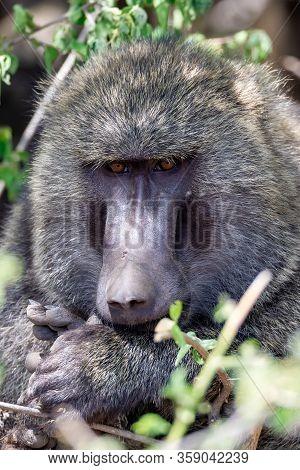 Wild Monkey Olive Baboon, Papio Anubis, Near Awash Waterfalls, Ethiopia, Africa Safari Wildlife