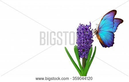 Colorful Blue Morpho Butterfly On A Flower. Blue Hyacinth Flower Isolated On White. Bright Colorful