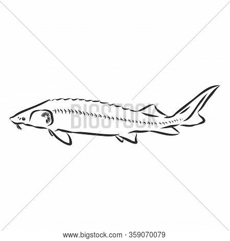 Sturgeon Fish Outline Sketch Vector Illustration . Sign