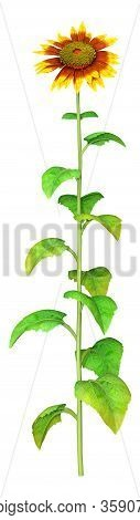 3D Rendering Sunflower Plant On White