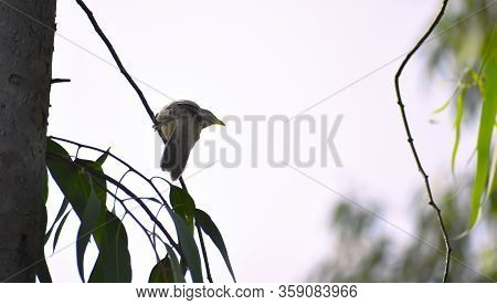 Jungle Babbler, A Bird Found In West Bengal ,sitting On A Tree
