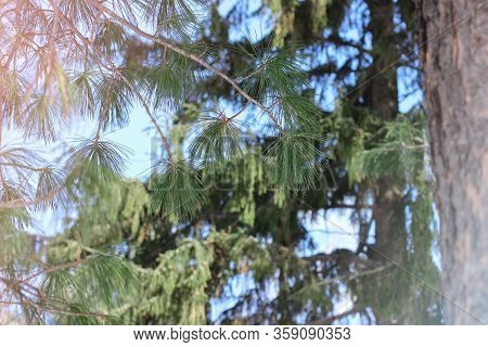 Pine Branches Under Sun Light. Morning Walk In The Forest Concept. Bright Green Pine Needles And Blu