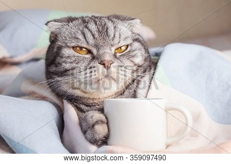 A Gray Scottish Fold Cat, Gray In Black Stripes With Yellow Eyes, Lies On The Bed With A Coffee Cup.