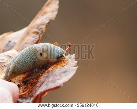 Macro Photo Of A Slug In Forest. Shell-less Terrestrial Gastropod Mollusc On Bright Autumn Leaf.
