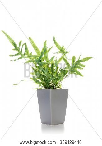 Potted Golden Polypody fern or Phlebodium aureum isolated on white background