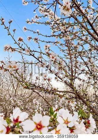 White apricot flower blossoms at sunset on Blossom Trail in Central Valley, California
