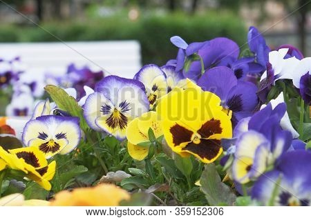 Flowers Viola With Evil Faces On Them
