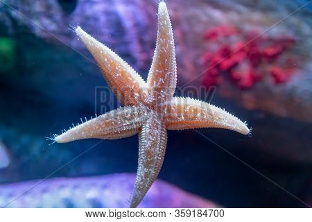 Close Up Of Common Starfish Or Sea Star, Asterias Rubens, On The Glass Of An Aquarium Tank