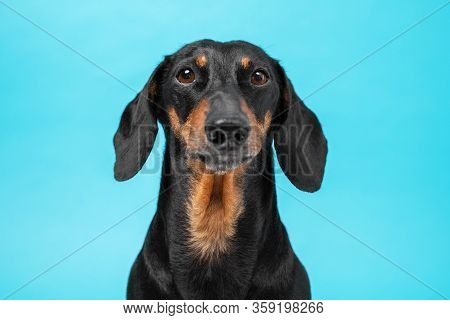 Portrait Of Smart Obedient Black And Tan Dachshund Looking Forward On A Blue Background, Front View,