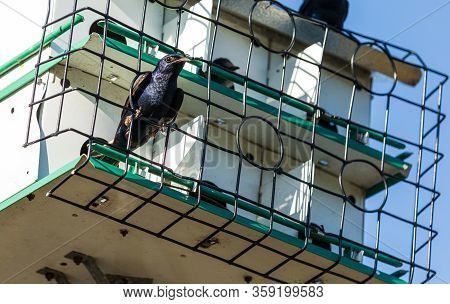 Purple Martin Progne Subis Bird In A Birdhouse In Sarasota, Florida.