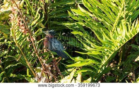 Scruffy Little Green Heron Butorides Virescens In A Marsh In Sarasota, Florida