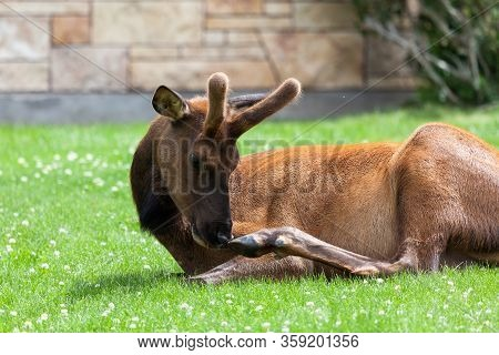 A Young Bull Elk With Growing Antlers In Velvet Scratches His Nose With His Hind Hoof Whole Laying I