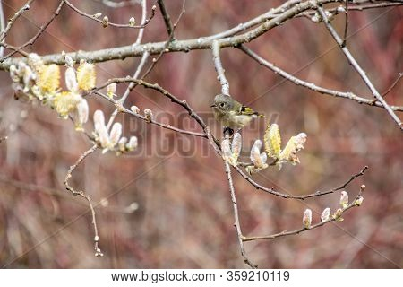 A Picture Of A Ruby-crowned_kinglet Perching On The Branch.  Vancouver  Bc  Canada