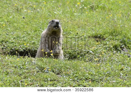 Marmot out of a hole