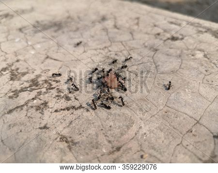 Many Black Ant Are Carrying Food To Nest.ants Carrying Food.