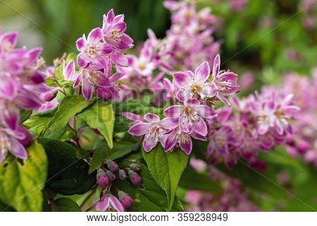Close Up Shrub With Pink Flowers. Deutzia Raspberry Sundae. Deutzia Strawberry Fields. Deutzia Graci