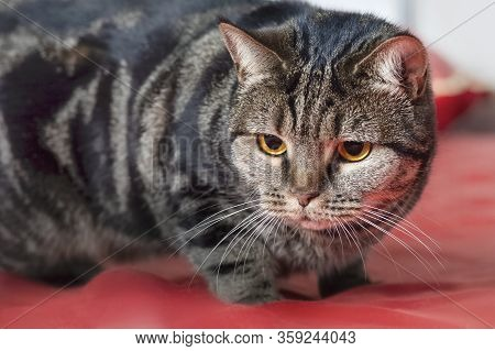Cute British Short Hair Cat With Bright Yellow Eyes Keeping Track Of Something On The Bed With Red C