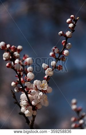 Beautiful Apricot Blooming Tree With Fresh Flowers In The Sun Light. Branches Of Blossoming Apricot