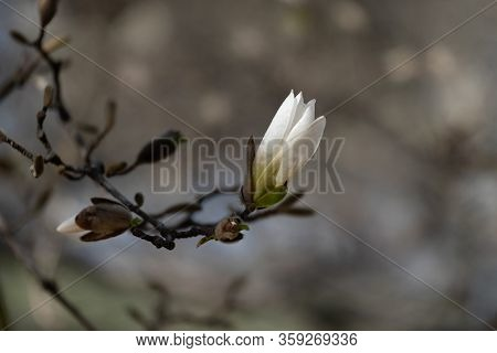The Beginning Of The Flowering Of Magnolia. Magnolia Tree In Early Spring With Young Flower. Magnoli