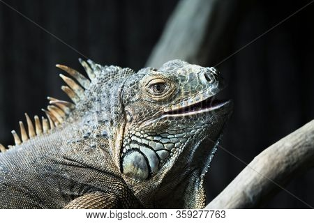 Portrait Of Iguana In A Zoo, France, Europe