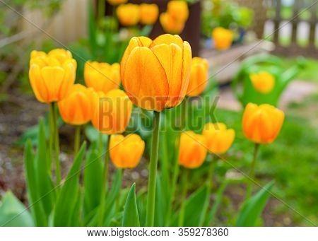 Blushing Appledorn Darwin tulips in the home garden.