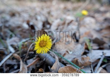 Yellow Foalfoot Flower On Last Year Fallen Leaves Background Close Up View. Spring, New Life, Reviva