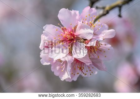 Macro closeup of blooming almond tree branches with pink flowers during springtime