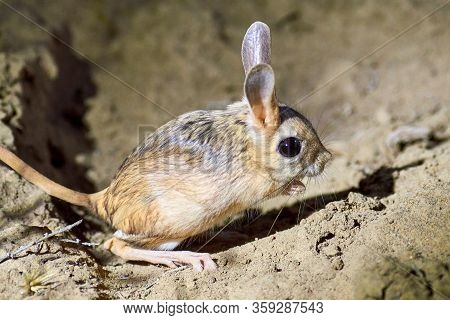 Jerboa / Jaculus The Jerboa Are A Steppe Animal And Lead A Nocturnal Life Jerboas  Form The Bulk Of