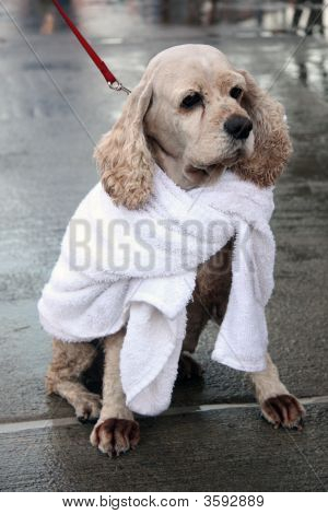 Cocker Spaniel In A Towel