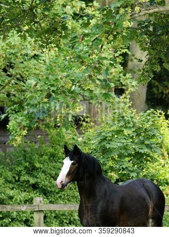 A Shot Of A Pretty Bay Shire Horse Against A Leafy Backdrop.
