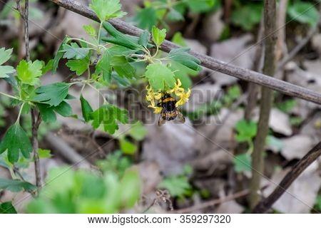 Large Bumblebee On The Flowers Of Currant. Pollination Of Flowers With Bumblebees.