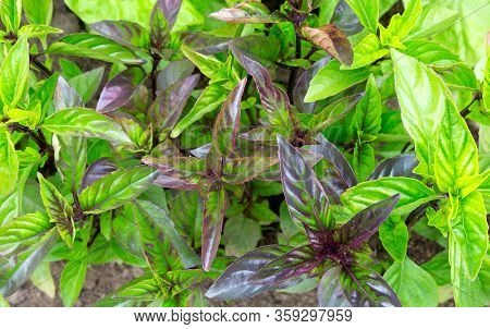 Basil. Fresh Green Basil Herb. Basil Plants Growing In The Field. Flowering Basil Plant.