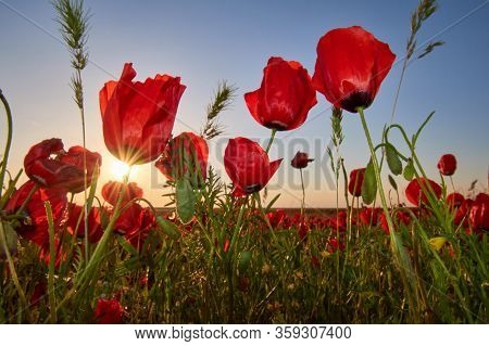 Poppy Blossoms In The Meadow.  Field Of Poppies On A Sunset. Red Blooming Poppies In The Summer Suns