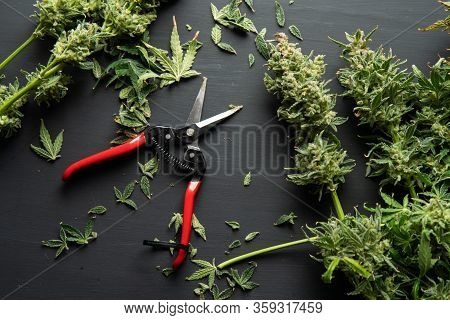 Trim Before Drying. Mans Hands Trimming Marijuana Bud. Harvest Weed Time Has Come. Growers Trim Cann