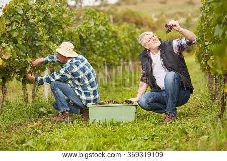 Two harvest workers in the vineyard harvesting grapes manually in autumn