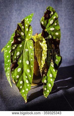 Young Begonia Maculata Var.