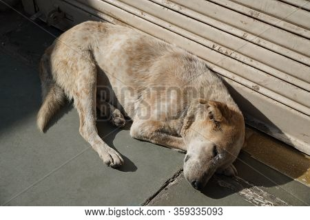 White And Brown Homeless Stray Dog Is Sleeping In Warm Sunlight On The Warm Cement Floor Outside A C