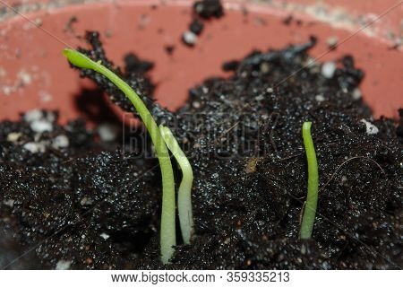 Close-up Of Germinating Citrus Seeds, Potted. Indoors.