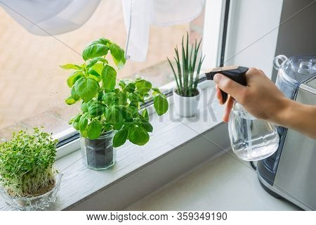 Young Man's Hand Watering Home Gardening On The Kitchen Windowsill. Pots Of Herbs With Basil And Wat
