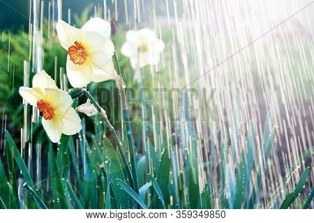 Watering White Yellow Daffodils, Spring Sunshine And Waterdrops. April Showers Bring May Flowers.