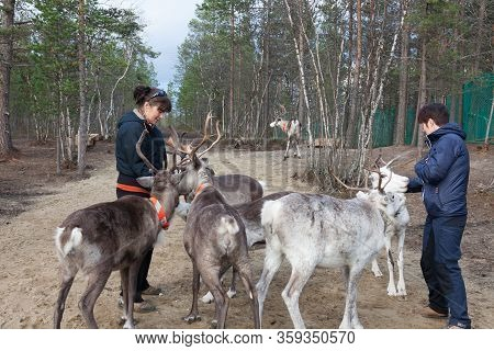 Two Women Feed Reindeer, Sami, Sami Village On The Kola Peninsula, Russia. Tourist Ethnographic Park