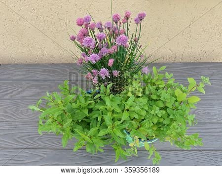 Chives With Purple Violet Flowers, Oregano And Estragon Growing In Flower Pots On A Balcony, Close U