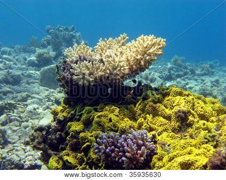 coral reef with hard corals on the bottom of red sea poster