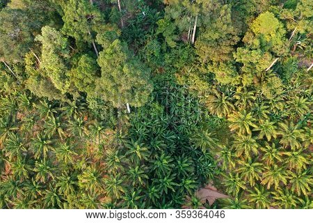 Rainforest trees on edge of palm oil plantation