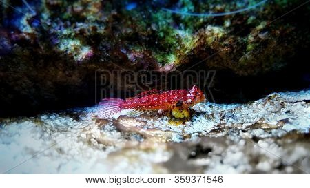 Red Ruby Dragonet Fish Is Amazing Colorful Addition For Saltwater Aquariums