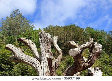 dead tree, east coast of Madeira