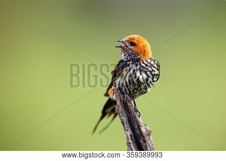 The Lesser Striped Swallow (cecropis Abyssinica) Sitting On The Branch. Swallow With Green Backgroun