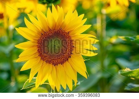 Beautiful Sunflowers Field At Summer Time For Harvest
